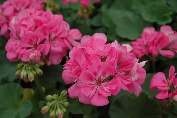 bibit tanaman hias bunga Bibit Pink Pelargonium