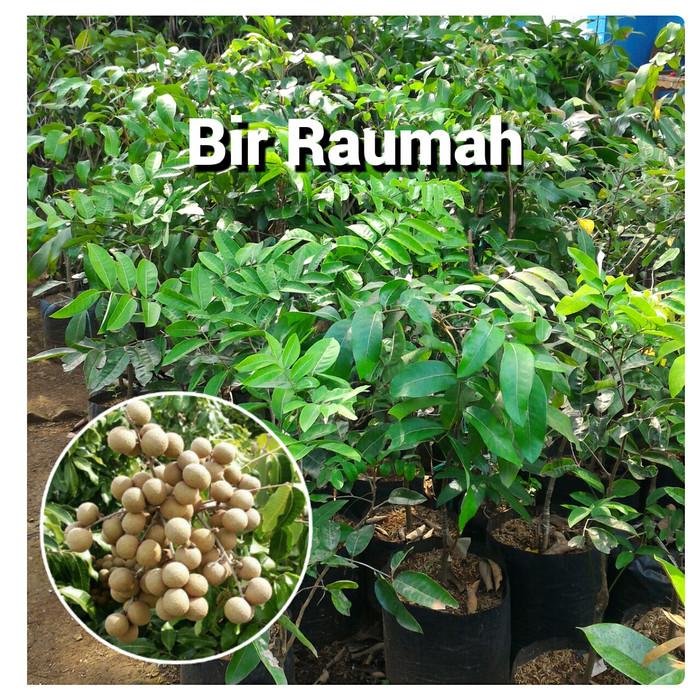 harga Bibit pohon kelengkeng lengkeng aroma durian Tokopedia.com