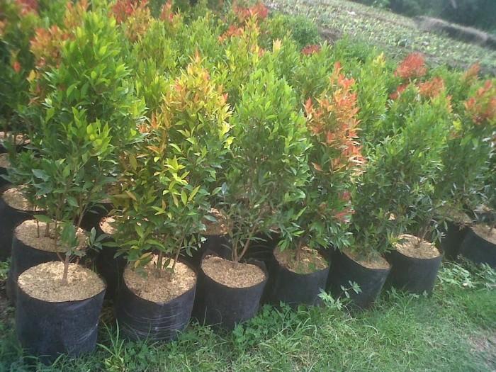 Jual Pohon Pucuk Merah Tanaman Pagar Hidup Kab Bogor Rosella Landscape Tokopedia