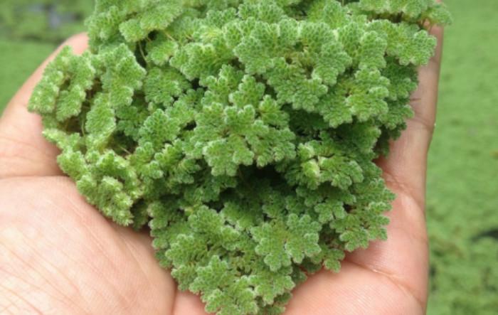 Jual tanaman azolla - Kab. Garut - bismillahhhhhh   Tokopedia