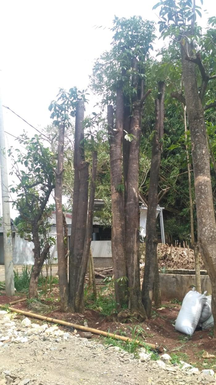 Jual Menjual Pohon Pulai Berbagai Ukuran Sudah Di Tampung Kab Bogor Cvkar Wangj Nursery
