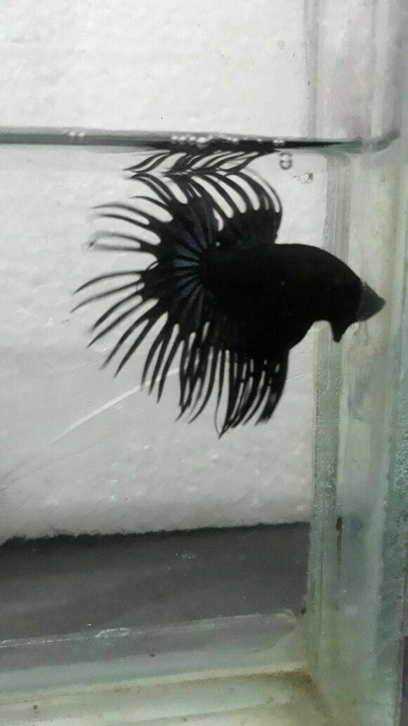 Jual Ikan Cupang Jenis Ct Black Orchid Kab Sidoarjo Ari D Night Tokopedia