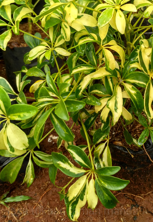 Jual Tanaman Hias Walisongo Varigata Pohon Untuk Pot Semak Dan Perdu Kab Bogor Jasa Tukang Taman Manda Tokopedia