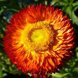 Tanaman Bibit biji benih Bunga helychrysum strawflower scarlet