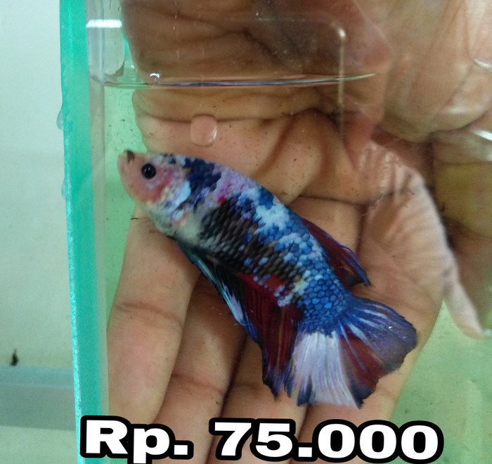 harga Ikan hias cupang giant Tokopedia.com