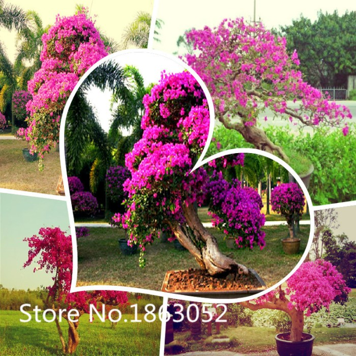 Jual bibit tanaman bougenville cek harga di PriceArea.com 5189312167