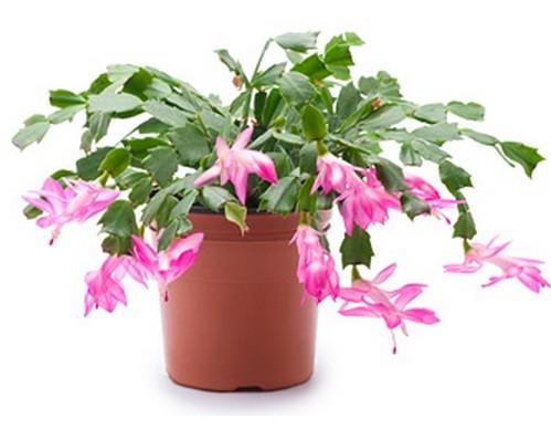 harga Bibit wijaya kusuma kepiting pink ungu putih - harga petani Tokopedia.com