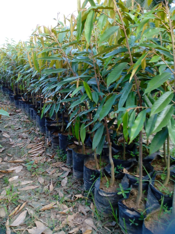 harga Bibit durian musangking - harga petani Tokopedia.com