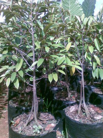 harga Bibit durian bawor - harga petani Tokopedia.com