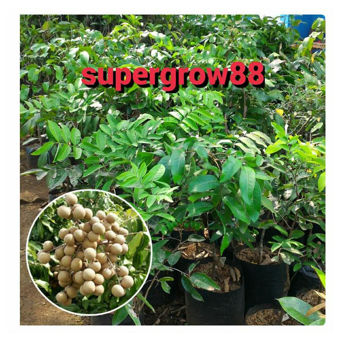 harga Bibit pohon kelengkeng aroma durian Tokopedia.com