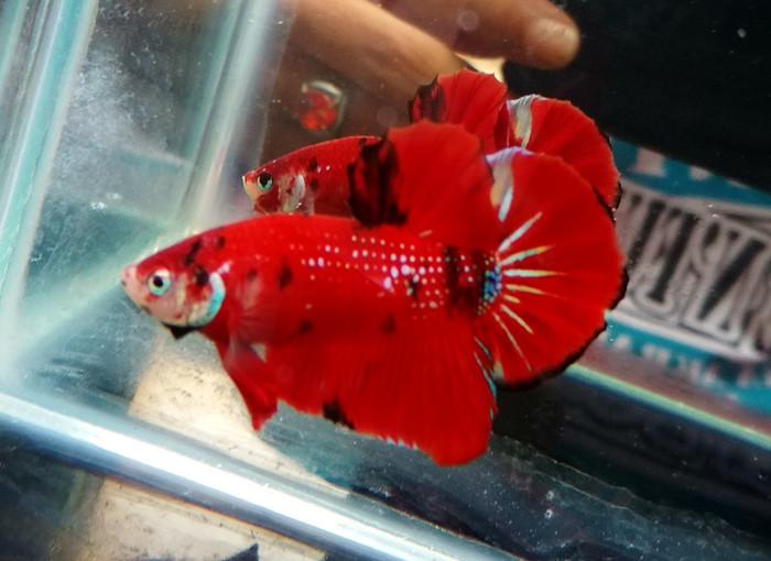 Jual Ikan Cupang Red Koi Galaxy Jakarta Barat Betta Pamungkas77 Tokopedia