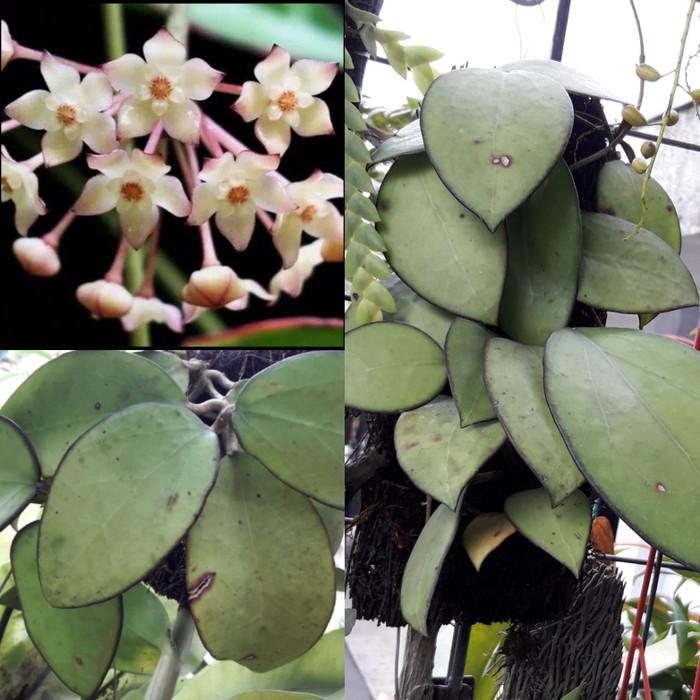 Foto Produk Hoya Macrophylla dari Tambo Orchids