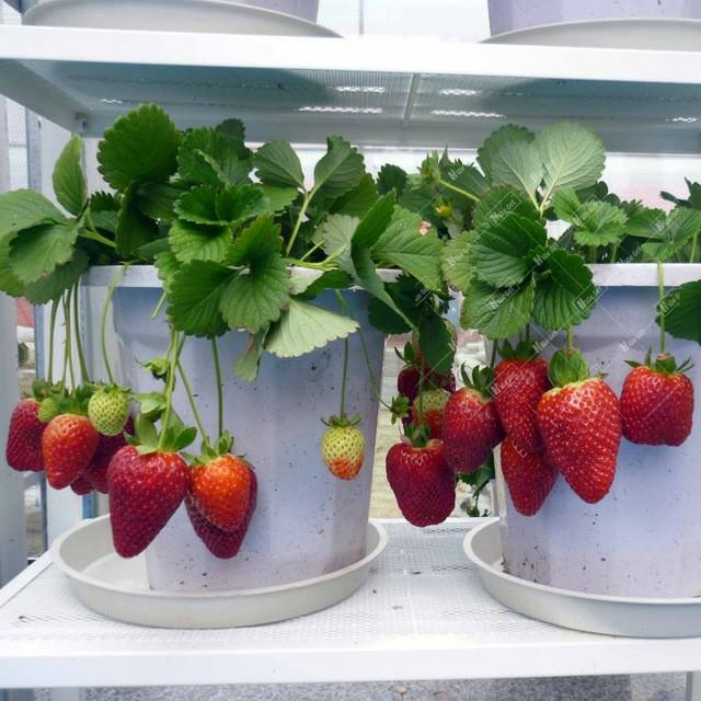 Bibit Tanaman Buah Stroberi / Strawberry - Sudah Adaptasi Daerah Panas