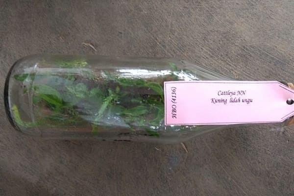 Bibit Anggrek Botol Cattleya 20-25 Pcs
