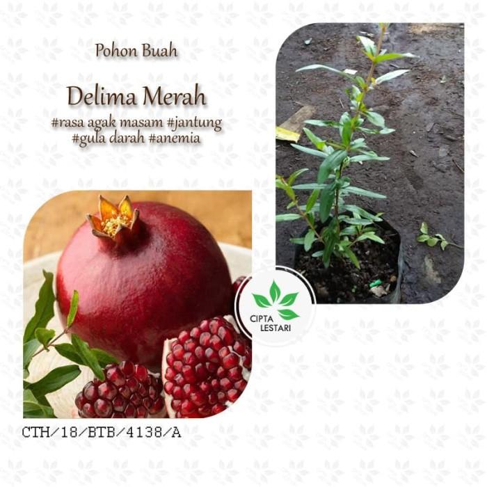 harga Bibit pohon delima merah tanaman buah favorite manis asam Tokopedia.com