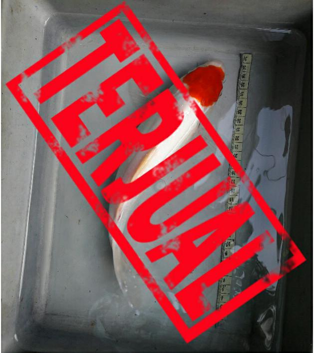 harga Ikan koi tancho blitar Tokopedia.com