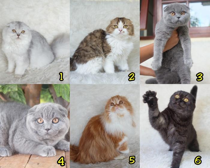 Katalog Kucing Scottish Fold Travelbon.com