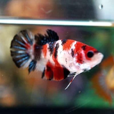 harga Ikan hias cupang koi Tokopedia.com
