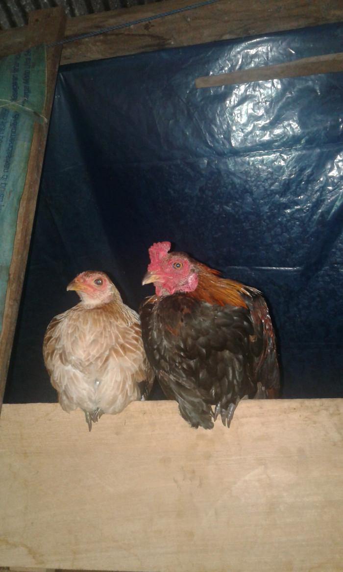 Jual Sepasang Ayam Jantan Dan Betina Kab Paser Kayro Tokopedia