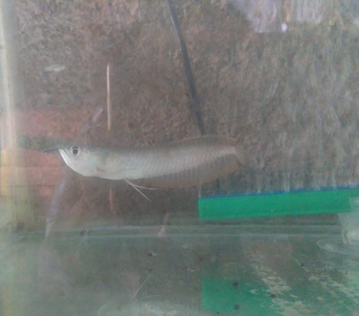 harga Ikan arwana silver/predator Tokopedia.com