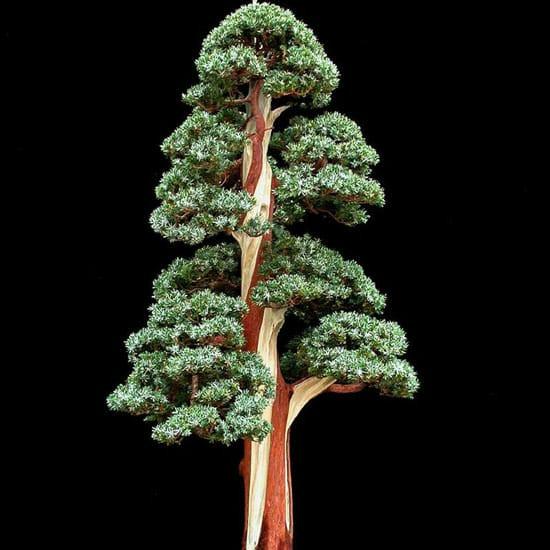 harga Tanaman hias indoor - cemara perak juniperus squamata (bakalan bonsai) Tokopedia.com