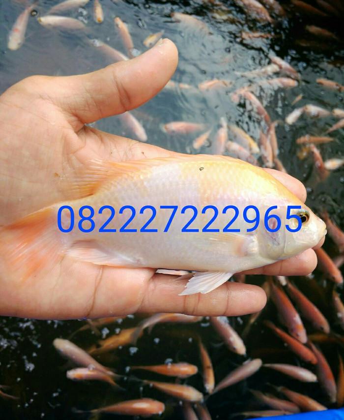 Bibit Ikan Nila Merah 3 Jari