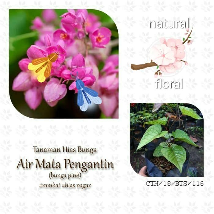 Jual Bibit Tanaman Hias Bunga Air Mata Pengantin Tanaman Merambat Kab Bogor Agri M Rt Tokopedia