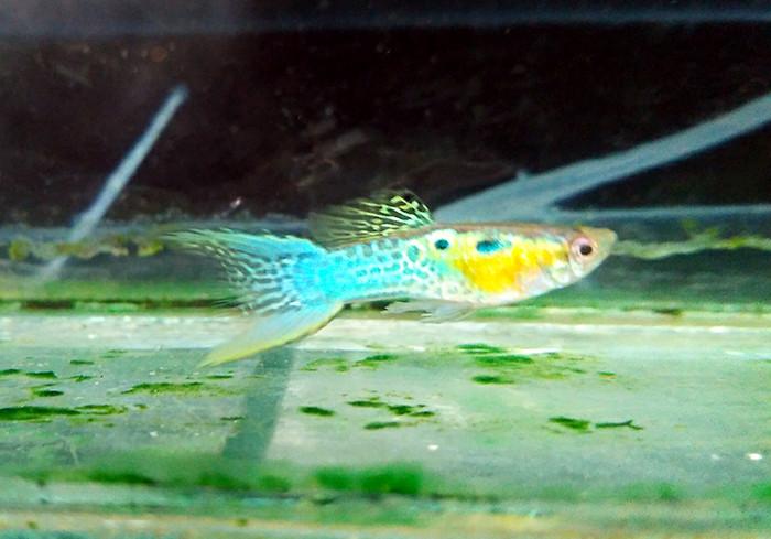 harga Ikan guppy japan blue ds ss Tokopedia.com