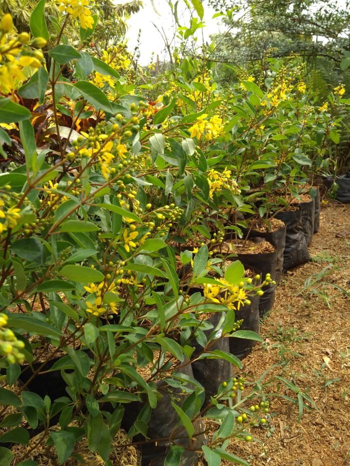 Hasil gambar untuk tanaman hias hujan emas