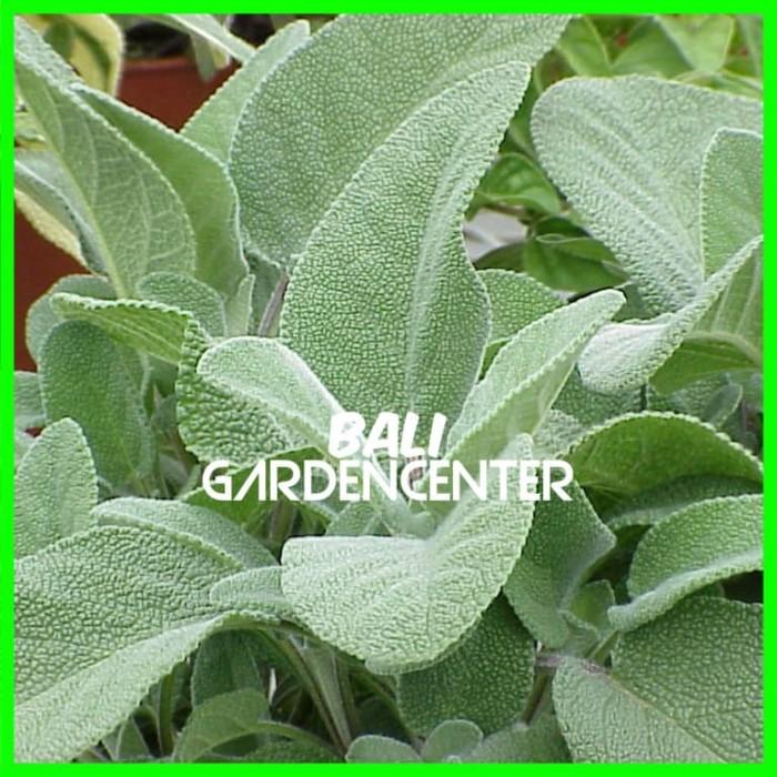 Benih Biji Herbal Sage - Salvia Officinalis Import