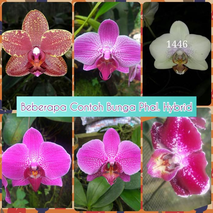 Jual Anggrek Bulan Hybrid Phalaenopsis Hybrid Dewasa Siap Bunga