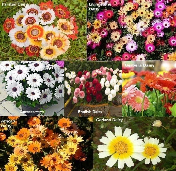 Paket hemat benih bunga daisy 7 jenis murah meriah