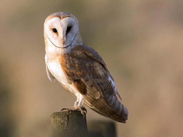harga Anakan burung hantu barn owl atau tyto alba Tokopedia.com