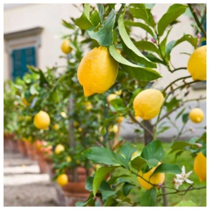 Jeruk Lemon Lokal