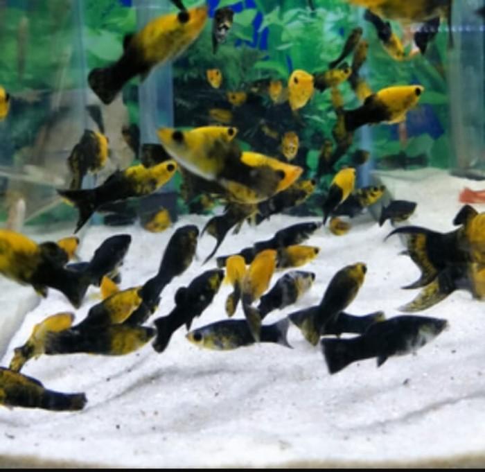Cara Budidaya Ikan Molly Golden Black Infoakuakultur Com