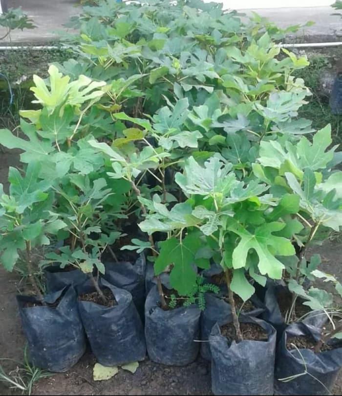 Sedia bibit tanaman buah tin purple jordan bibit / biji / benih