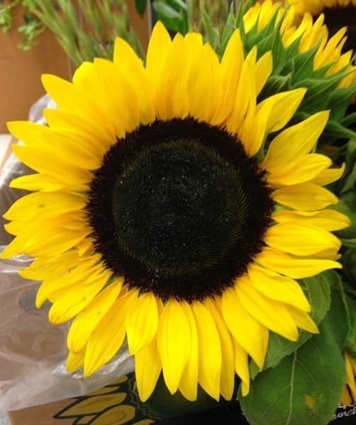 Foto Produk Biji Benih Bunga Matahari Hitam Sunflower Black Heart dari Biji Benih