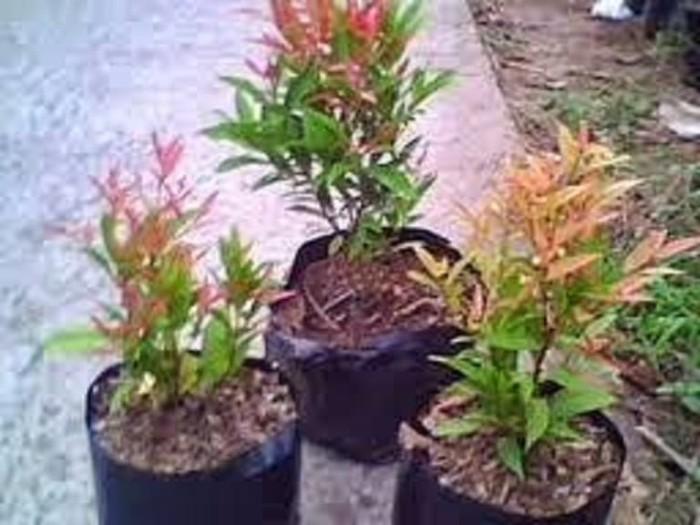 Jual Bunga Pucuk Merah Kab Jember Gilang On Line Tokopedia