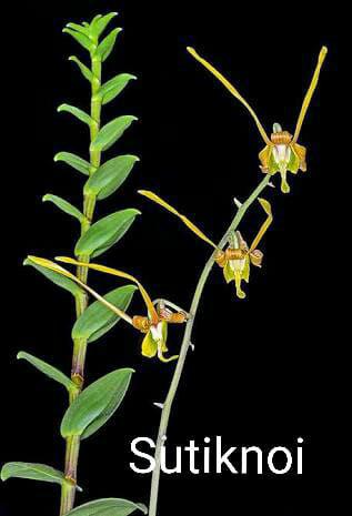 Foto Produk Seedling tanaman angrek dendrobium species/orchid/anggrek remaja dari Pims Corner