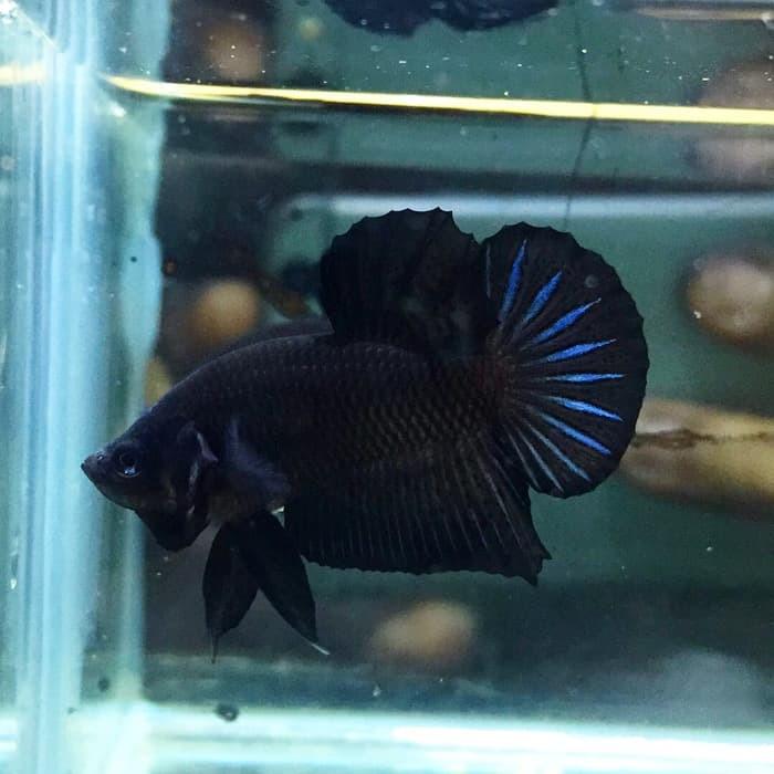 harga Ikan cupang plakat black Tokopedia.com