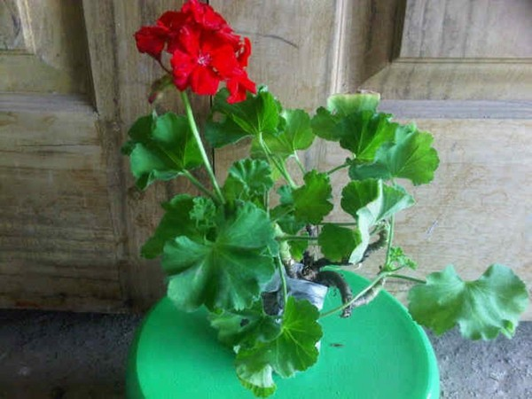 Tanaman Geranium Merah (Red Pelargonium)