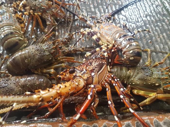 Jual Udang Baby Lobster Hidup 1kg Isi 5 7 Ekor Jakarta Utara