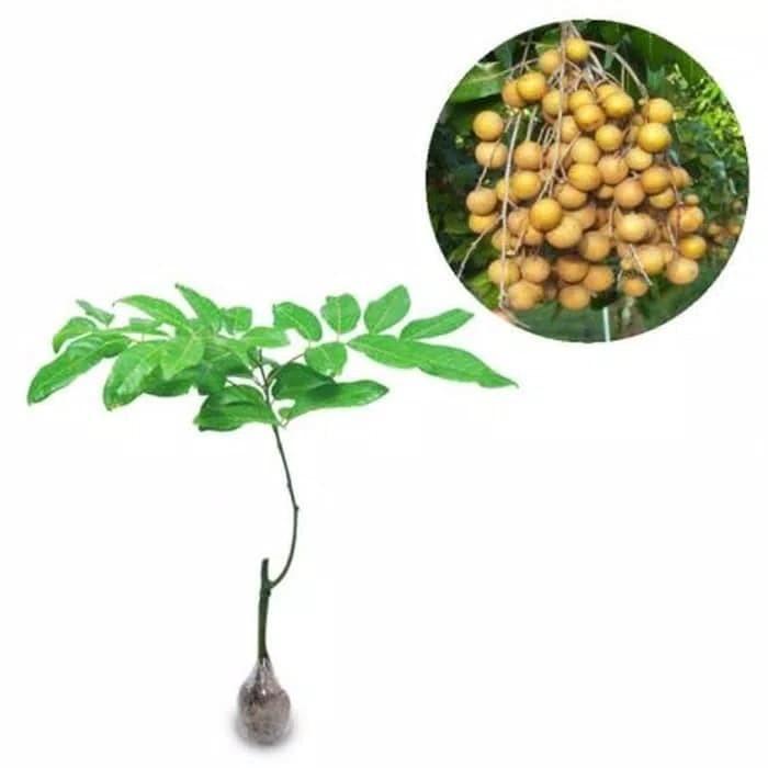 harga Pohon kelengkeng puangray tinggi 100 cm asli Tokopedia.com