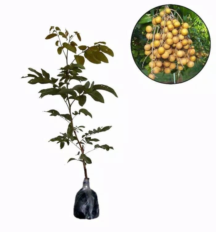 harga Pohon kelengkeng puangray tinggi 100 cm Tokopedia.com