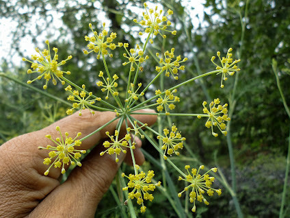 Jual Tanaman Obat Herbal Adas Minyak Telon Foeniculum Vulgare Mill Jakarta Timur Plantismeid Tokopedia