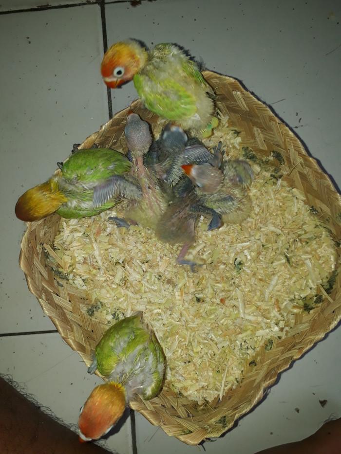 harga Lovebird lolohan Tokopedia.com