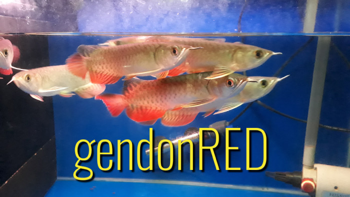 harga Arwana golden red size 16cm Tokopedia.com