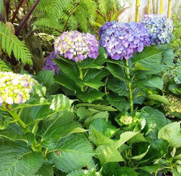 Jual Tanaman Hias Bunga Hortensia Ungu Kota Batu Medina Florist Tokopedia
