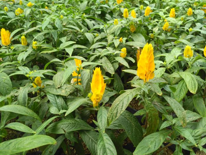 Tanaman Bunga Lolipop | Tanaman Lolipop | Tanaman Bunga Lilin