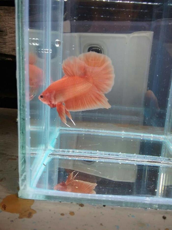 harga Ikan cupang plakat orange Tokopedia.com